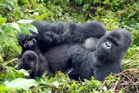 Double Gorilla Trek Uganda and Rwanda