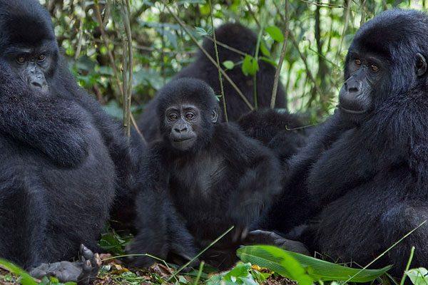 Kyambura Gorge Chimpanzee Tracking in Queen Elizabeth Park