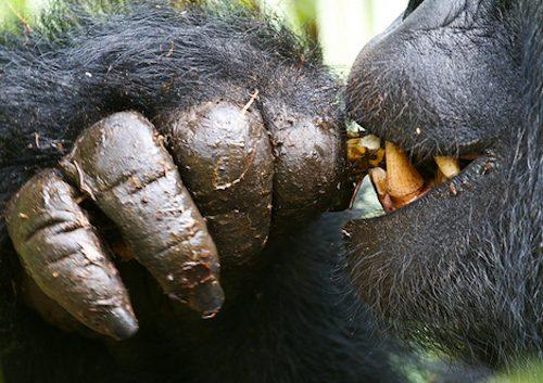 Gorilla Trekking Safari and Budget Gorilla Tracking Tours
