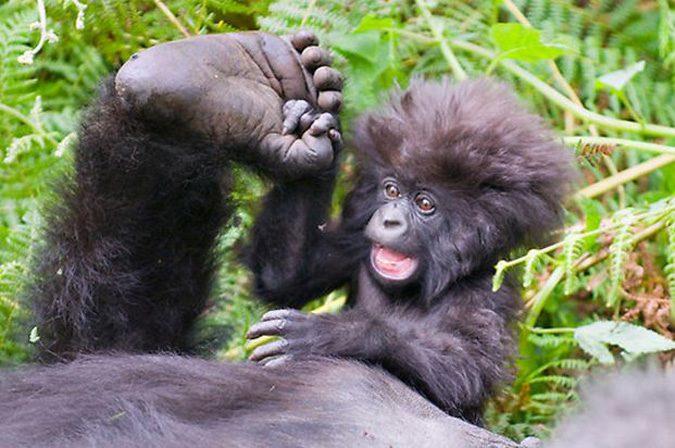 Gorilla Safaris and Best Gorilla Tours in Rwanda and Uganda