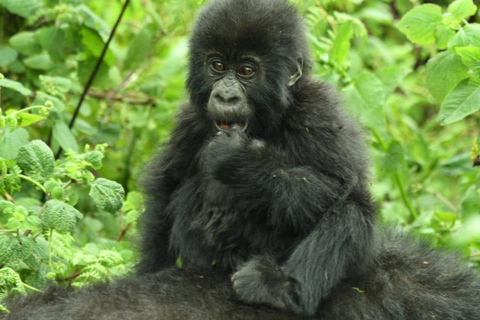 Kwita Izina Rwanda or Gorilla Naming in Rwanda Ceremony
