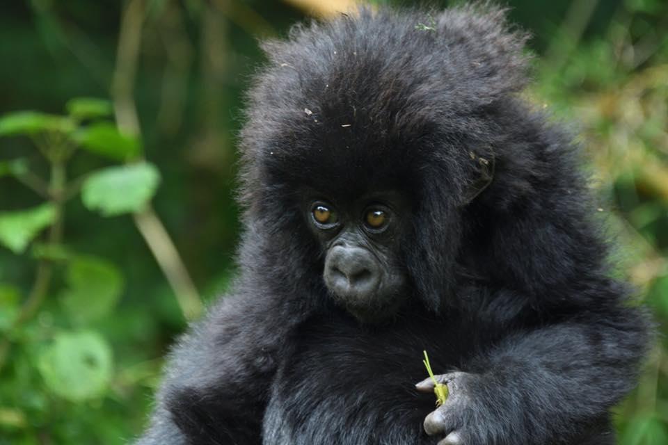 Chimpanzee Tracking Uganda in Kaniyo Pabidi in Budongo Forest